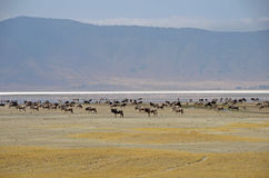 Ngorongoro Crater - herd of wildebeest Royalty Free Stock Photos