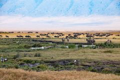 Drinking Zebras, grazing Gnus, Hippos and Birds in Ngorongoro Crater. The Ngorongoro Crater in Tanzania is a huge conservation aeria for many animals. Hippos in royalty free stock image
