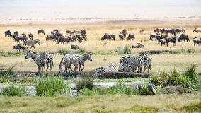 Drinking Zebras, grazing Gnus, Birds in Ngorongoro Crater. The Ngorongoro Crater in Tanzania is a huge conservation aeria for many animals. Hippos in the pond stock photography