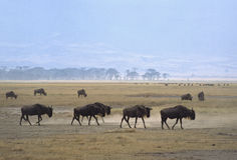 Ngorongoro gnus Royalty Free Stock Images