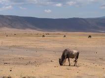 Ngorongoro krater Zdjęcie Royalty Free