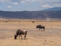 Ngorongoro krater Obrazy Royalty Free