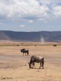 Ngorongoro krater Fotografia Royalty Free