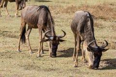 Ngorongoro kratersafari Arkivbild