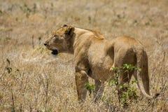 Ngorongoro krateru safari Obraz Royalty Free