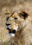 Ngorongoro Lion, with flies Stock Photo