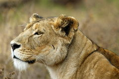 Ngorongoro Lion, Portrait of a Hunter Royalty Free Stock Photo