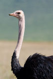 Ngorongoro ostrich Royalty Free Stock Photography