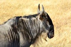 Amboseli - Pakůň žíhan. The blue wildebeest Connochaetes taurinus, also called the common wildebeest, white-bearded wildebeest or brindled gnu in his stock image