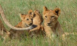 Ngorongoro Plains o leão Cubs Foto de Stock