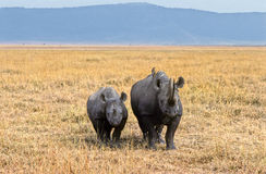 Ngorongoro rhinoceros. Two black rhinoceros facing us in Ngorongoro crater, Tanzania Royalty Free Stock Photos