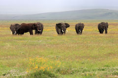 ngorongoro s Τανζανία ελεφάντων κρα&ta Στοκ φωτογραφίες με δικαίωμα ελεύθερης χρήσης