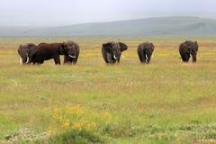 ngorongoro s Танзания слона кратера быка стоковые фотографии rf