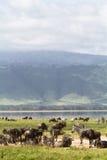 Ngorongoro tanzania Royaltyfria Foton