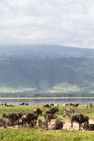 Ngorongoro. Tanzania. Animals in Ngorongoro. Tanzania, Africa Royalty Free Stock Photos