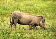Ngorongoro Warthog Stock Photo