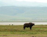 Ngorongoro Waterbuffalo Stock Image