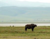 Ngorongoro Waterbuffalo Stock Image