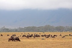 Ngorongoro Wildebeest Stock Photo