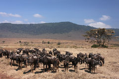 ngorongoro wildebeest Obraz Royalty Free