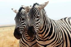 Ngorongoro zebras Royalty Free Stock Photo