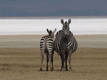 Ngorongoro zebras - Equus species. Mother and calf facing different directions Stock Photos