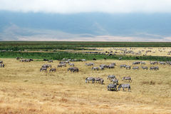 Ngorongoro zebras Stock Photo