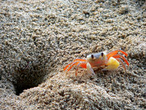 Ngpali Beach Crab. Burma. Crab busy tidying entrance royalty free stock photos
