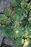 succulents and stones stock photo