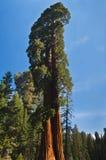 Ángulo ascendente del árbol de la secoya Imágenes de archivo libres de regalías