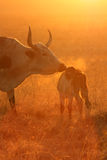 Nguni breath Stock Photography
