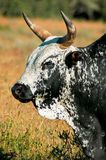 Nguni bull Stock Photo