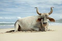 Nguni bull on East Coast Beach stock photo