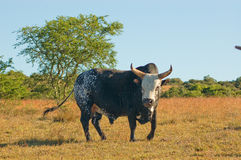 Nguni Bull Stock Photography