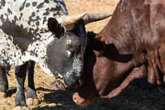 Nguni bulls bonding on a bright summer day. Nguni bulls bonding.  One is brown and one is black and white Royalty Free Stock Photography