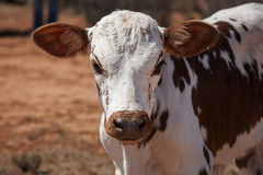 Nguni calf Stock Images