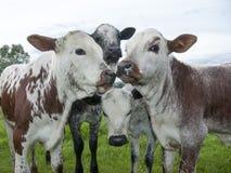 Nguni Calves Meeting In The Field