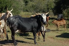 Free Nguni Cattle - Bos Taurus - From Southern Africa Royalty Free Stock Photography - 164817237