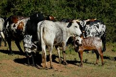 Nguni Cattle - Bos Taurus - From Southern Africa Stock Images