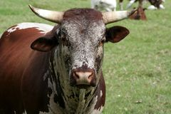 Nguni cattle bull. With large horns in a meadow Stock Photography