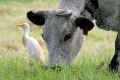 Nguni cattle cow and tick bird. Nguni cattle cow with horns grazing in a meadow with a tick bird egret in the backround Royalty Free Stock Photo