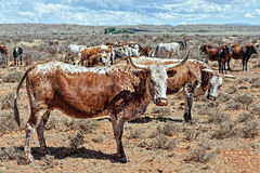Nguni cattle Stock Image