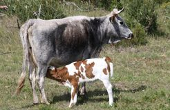 Nguni cattle - mother and calf Royalty Free Stock Images