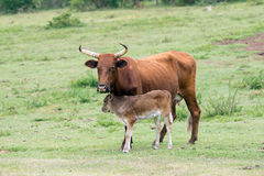 Nguni Cattle Royalty Free Stock Images