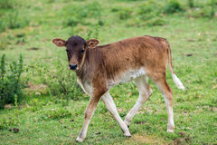 Nguni Cattle Royalty Free Stock Photo