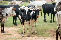 Nguni Cattle Stock Images