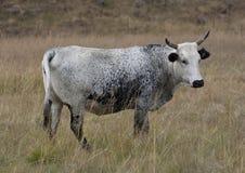 Nguni cow Stock Image