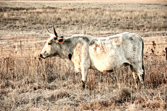 Nguni Cow Stock Photos
