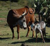 Nguni Cow And Calf - Bos Taurus - From Southern Africa Royalty Free Stock Images