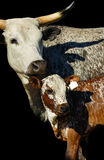 Nguni cow and calf Royalty Free Stock Images